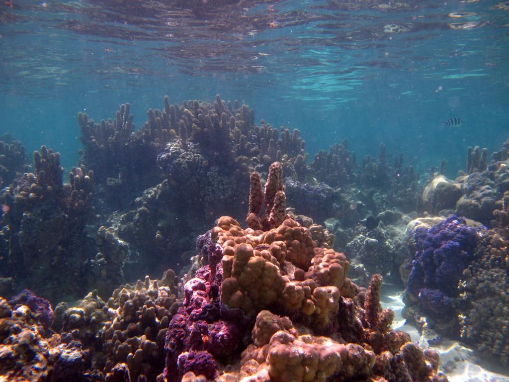 Jardins de corais em Bora Bora