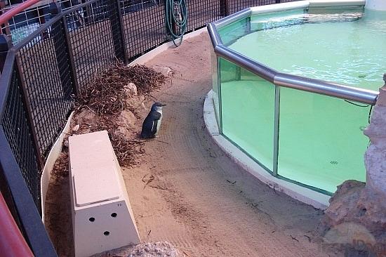 ilha-dos-pinguins-perth-australia