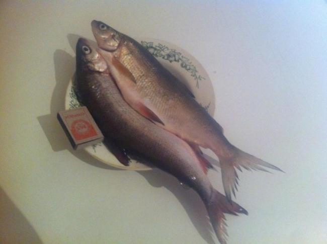 peixe no Ártico